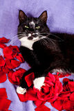 Black-white cat with red rose petals Royalty Free Stock Photos