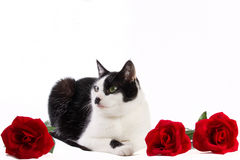 Black and white cat with red roses. European shorthair with red roses on white background Royalty Free Stock Images