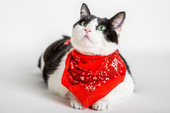 Cat with bandana. Portrait of a cute cat wearing a red bandana, white studio background Royalty Free Stock Image