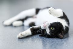 Black-and-white cat relaxing at home. Black-and-white cat relaxing at home royalty free stock photography