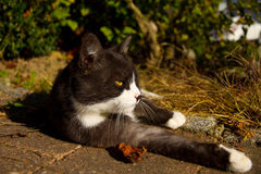 Black and white cat is relaxing in the sun Stock Images