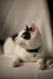 Black and white cat. Resting black and white cat Royalty Free Stock Image