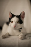 Black and white cat. Resting black and white cat Royalty Free Stock Photography