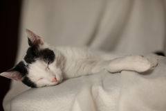 Black and white cat resting. Black and white cat sleeping on a blanket Royalty Free Stock Images