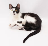Black and white cat rests clasped paws Royalty Free Stock Image