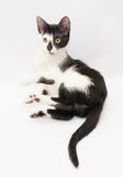 Black and white cat rests his paw raised Stock Photography