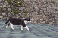 Black and white cat on the roof Stock Image