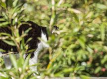 Black and white cat seen through some green leaves. This image shows a black and white cat in a garden on a sunny day. It is seen through some green leaves stock photo