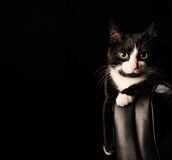 Black and white cat with serious look and green eyes lies on a chair. concept about pets and animals Royalty Free Stock Images