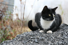 Black and white cat sits on gravel Royalty Free Stock Photo