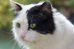 A black and white cat sits and looks into the photographer`s lens Stock Images