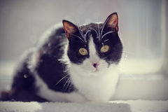 Black-and-white cat sits at a window. Stock Images