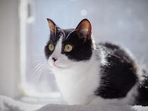 The black-and-white cat sits at a window in sunshine. Royalty Free Stock Image