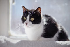 Black-and-white cat sits at a window in sunshine. Stock Photography