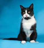 Black and white cat sitting on blue Royalty Free Stock Photos