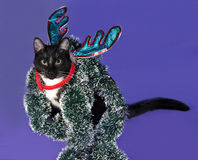 Black and white cat sitting in Christmas tinsel on blue Royalty Free Stock Photo