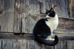 Black white cat on wooden background royalty free stock photography