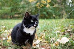 Black and white cat is sitting among falling leaves in green grass in autumn park. stock photos