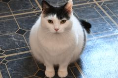 The black and white cat sitting on the floor. Waiting for dinner Royalty Free Stock Photography