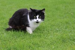 Black and white cat sitting on grass in garden. Cat posing for photograph in garden Royalty Free Stock Images