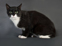 Black and white cat sitting on gray. Background Royalty Free Stock Photos