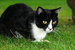Black and white cat sitting on green grass. Black and white cat sitting on green grass and watches Stock Photography