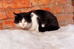 Black and white cat sitting near red brick wall on white snow. Side view stock image