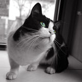 Black and white cat. A black and white cat is sitting near a window stock photography
