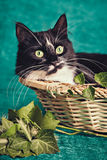 Black and white cat sitting in a straw basket. Near green leaves Royalty Free Stock Photo