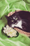Black and white cat sitting in straw basket. Black and white Norwegian Forest Cat sitting in a straw basket Royalty Free Stock Photos