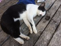 Black and white cat sleeping on old wooden table. stock images