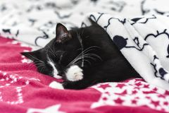 Black-and-white cat sleeping under the blanket at home.Black-and-white cat sleeping under the blanket at home. royalty free stock photos