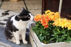 Black and white cat smelling yellow and orange dailies in a wooden box outside a shop. White and black cat smelling bright cheery yellow and orange and green royalty free stock image