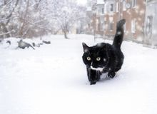 Black and white cat sneaking in deep snowdrift. Black and white cat sneaking in deep snowdrift during snowfall Royalty Free Stock Image