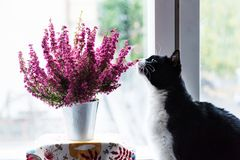 Cat sniffing an Erica gracilis- winter heather in full blossom. Black and white cat sniffing winter heath or Erica gracilis in a white metallic pot at the window stock photography