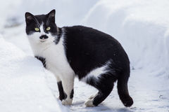 Black and white cat in the snow. Black and white cat walking in the snow royalty free stock image