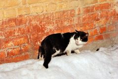 Black and white cat standing and looking near red brick wall on white snow, side. View royalty free stock photo