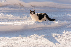 Black and white cat is   standing in the middle of a snow-covere Stock Image