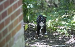 Curious, Hesitant Cat. Black and white cat standing near a red brick house Stock Photo