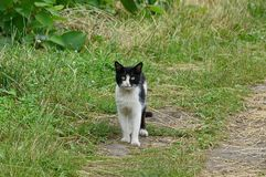 Black and white cat standing on the road in green grass Royalty Free Stock Image