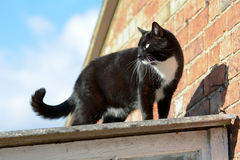 Black and white cat standing on shed roof Royalty Free Stock Photo