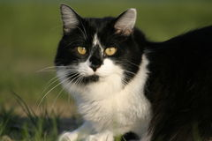 Black and white cat sunning in the grass Royalty Free Stock Photography