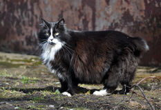 Black and white cat without a tail Royalty Free Stock Photo