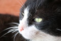 Black and White Cat Thinking Deeply royalty free stock photography