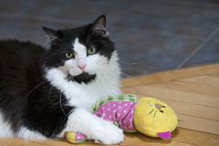 Black and White Cat with Toy Royalty Free Stock Photography