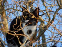 Black and White Cat in a Tree Stock Photography