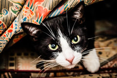 Black and White Cat under Blankets on the Couch Royalty Free Stock Image