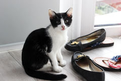 Black and white cat. Very naughty black and white cat near owner's shoes Stock Images