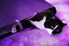 Black-white cat with violet eyes in lilac illumination with patches of light. Black cat with white paws and violet eyes in a purple package in lilac illumination stock photography