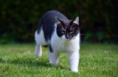 Black and white cat walk in the garden Royalty Free Stock Image